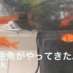金魚の飼い方も知らないのに我が家に二匹もやってきた!